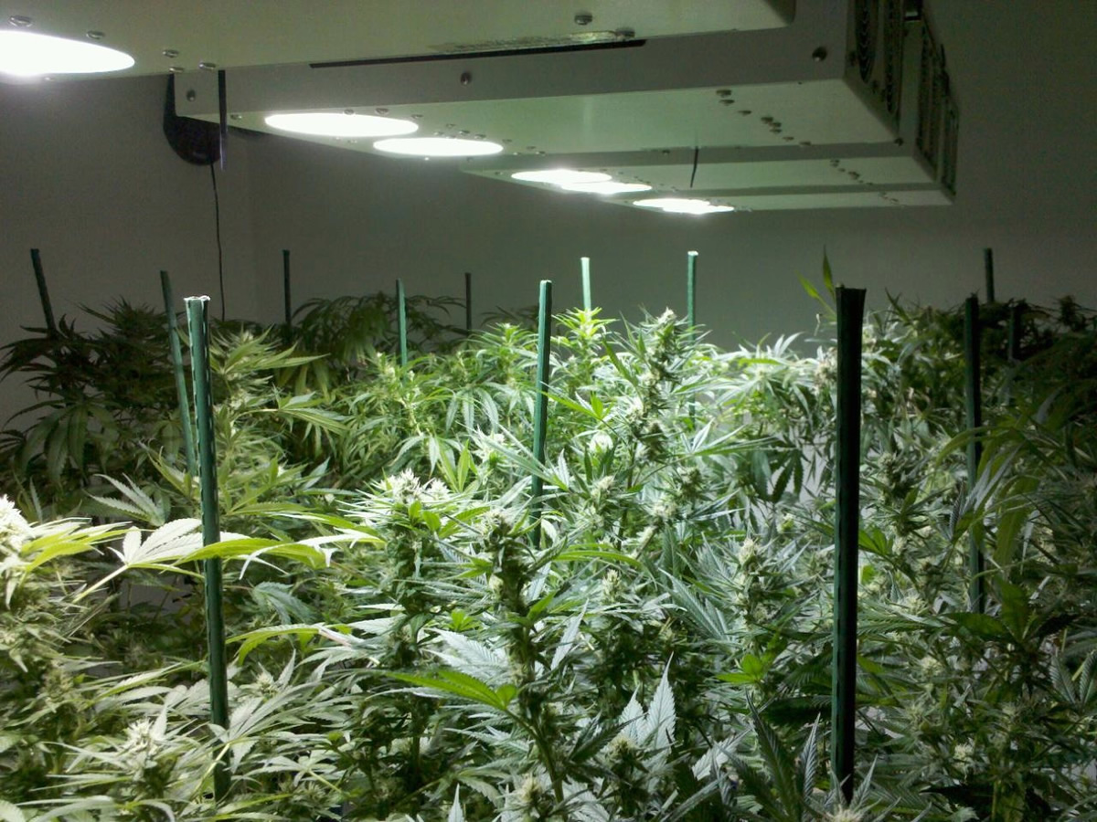 Chameleon Plasma Grow Lights Increase Potency Yield For Your Plants